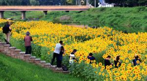 경주 남천, 해바라기 꽃에 빠지다