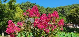 [야생화이야기] 배롱나무 꽃