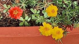 채송화 꽃이 인체에 미치는 영향과 전설